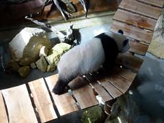 rhenen_1_049 (OurTravelPics.com) Tags: rhenen the giant panda wu wen her residence pandasia ouwehands dierenpark zoo