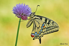 Papilio machaon (Explore) (alfvet) Tags: farfalle macro veterinarifotografi natura nature insetti lepidotteri macaone nikon d5200 sigma150 ngc npc