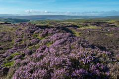 Peak District Moors (Tim Melling) Tags: peak district national park heather calluna vulgaris south yorkshire timmelling