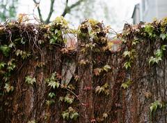 Spring Ivy (pabs35) Tags: film believeinfilm mediumformat 120 kodak ektar ektar100 mamiya m645 1000s mamiyam6451000s ivy spring
