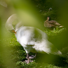An Intimate Moment (philia10) Tags: swan animal bird outdoor nature canon70d lightroom leaves
