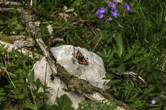 Aglais urticae - Kleine Vos (carolienvanhilten) Tags: garmisch partenkirchen kreuzeckbahn mountains bavaria bayern beieren bergen deutschland germany duitsland cablecars kabelbaan seilbahn butterfly flowers