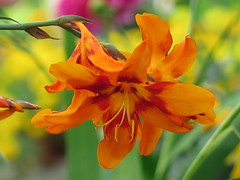 Effervescent Emily the showgirl ... :-) (☜✿☞ Bo ☜✿☞) Tags: crocosmiaemilymckenzie flower fauna flora fleur flowers plant garden backyard yard outdoor nature petal canong16 powershot macro bokeh closeup england britain uk europe european summer2017 august summer colourful red orange crimson green purple yellow brown lime colour impact september effervescent beautiful awesome camera fullframe bright amazing flickr house home patio outside pretty fall fire floral sparkling bubbly frothy bouncy