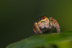 Jumping Spider (Salticidae) (pdechaumont) Tags: spider close macro eyes colors legs hair hairy tiny monster race green leaves nature forest orange yellow bokeh small cute insect jumping salticidae nikon d3200 sigma105
