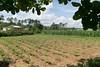 vinales-82.jpg (BradPerkins) Tags: cigarfarm cigarlesson nature cuba huckleberryfinn vinales tobaccofarm farm tobacco
