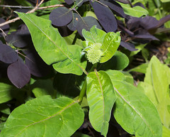 Whorled Milkweed Asclepias verticillata_3092 (Alice & Seig) Tags: va williamsburgarea 4021 pink plants asteridae gentianales dogbaneapocynaceae milkweedasclepiadaceae flickr