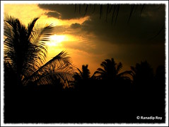 Darkness coming (RanadipRoy) Tags: trees coconuttree coconut leaves branches yellow golden sky shadows clouds horizon dark evening dusk nature outdoor landscape bangalore karnataka india explore canon powershots3is