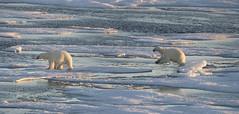 Polar Bear on Baffin Island. (richard.mcmanus.) Tags: bear polarbears arctic ice icebears canada nunavut baffinisland richardmcmanus mcmanus gettyimages explore