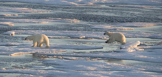 Polar Bear on Baffin Island.