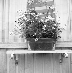 Flowers (rotabaga) Tags: sverige sweden svartvitt värnamo blackandwhite bw bwfp lomo lomography lubitel166 twinlens mediumformat mellanformat 120 6x6