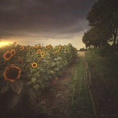 A Little Bit of Sunshine (M a r i k o) Tags: iphone iphone6s iphoneography iphonephotography mobile mobilephotography mariko square sunflower sunflowers sonnenblume sonnenblumen feld field sunset sun light clouds cloudy path hipstamatic snapseed mextures lenslight