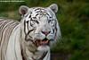 White tiger - Pairi Daiza (Mandenno photography) Tags: dierenpark dierentuin dieren animal animals white whitetiger tiger tijger tigers tijgers pairi daiza pairidaiza belgie belgium bigcat big cat