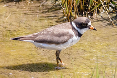 Semi-palmated Plover (tresed47) Tags: 2017 201705may 20170517snewjerseybirds birds canon7d content folder may newjersey peterscamera petersphotos places plover season semipalmatedplover shorebirds spring takenby us wetlandsinstitute