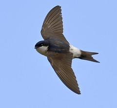 House Martin (Carl Bovis Nature Photography) Tags: housemartin bird nature watchet somerset flight flying fly inflight wings carlbovisnaturephotography england uk rspb bbcspringwatch springwatch martin hirundine sigma sigma150600 sigma150600c sigma150600mmc sigma150600mm nikon nikond500
