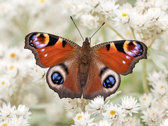 Peacock Butterfly (Maria-H) Tags: stockportdistrict england unitedkingdom gb peacock butterfly aglaisio lymepark disley cheshire uk olympus omdem1markii panasonic 100400