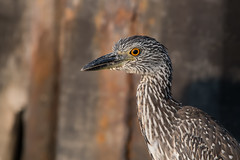 Yellow-Crowned Night Heron Juvenile (Jesse_in_CT) Tags: yellowcrownednightheron nikon200500mm