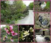 Castello-2 (France-♥) Tags: calistoga napavalley californie collage animal fleur printemps spring rooster coq brebis sheep goat chèvre nature