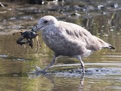 Crab for Lunch (Susan Jarnagin) Tags: nj atlanticcounty edwinbforsythenwr pinelandsnationalreserve wildlife bird