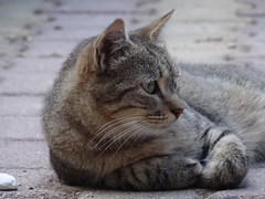 A cat [Explored Aug. 8, 2017] (Hélène_D) Tags: hélèned france provencealpescôtedazur provence paca alpesdehauteprovence ahp manosque cat chat catsandcats flickrphotounlimited