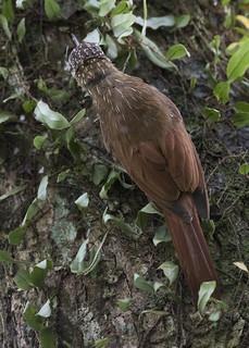 Xiphorhynchus susurrans / Cocoa Woodcreeper
