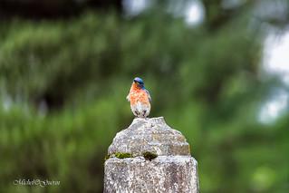 Merlebleu de l'Est - Eastern Bluebird