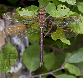 ♂ Brown Hawker [Explored and dropped]