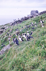 Puffins (Arianna Mameli) Tags: faroes faroeislands beauty nature landscape view light shades natural summer holidays trip north