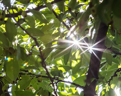 Sun through leaves (pollys belvin) Tags: starburst flare leaves tree green soligor 200mm vintage