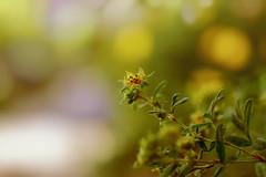 Bokeh Looks Good To Me (Cederquist Christoffer) Tags: natureblurleaffloragardengrowthflowersummeroutdoorssungrassdoffocusfieldsoilwoodsproutabstractsquaredarklittlebokehweedplantsigmaartfocusplanesingleminismallpetite blooming buttercup pollen flower petal garden flowering bud blossom bloom wildflower floral