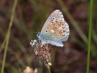 L'Azuré bleu céleste ou Bel Argus ou Argus bleu céleste (Polyommatus bellargus)