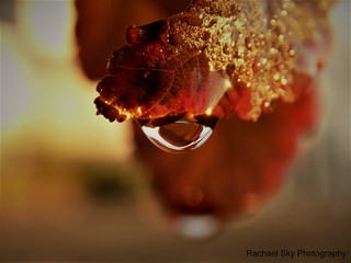 Red Leaf Water Drop