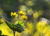 Golden Translucence (Eden Bromfield) Tags: marshmarigolds calthapalustris sunshine spring springephemeral marsh golden translucence bokeh quebec canada meyeroptikoreston oreston flowers nature bubblebokeh wildflowers vintagelens edenbromfield