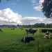 Weiland met koeien aan de Tiendweg