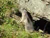 Austria '17 (faun070) Tags: marmotamarmota murmeltier kaiserfranzjosefhoehe austria grossglocknerstrasse alpinemarmot