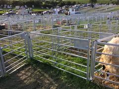 Sheep, Westmorland County Show, Cumbria (arrancat) Tags: sheep farmanimal rare breed ewe lamb westmorland county show agriculture england september uk