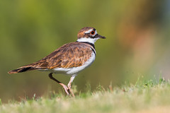 Killdeer (gilamonster8) Tags: killdeer dragonfly bug coyote grass plant eat pollen quality arizona az american wing water waterbirds waterbird white sky explore eyes eos desert color cactus canon flight flickrelite fishing fly vermillion flycatcher tucson tail green gray great garden bird blue bokeh beyondbokeh beak bill black brown yellow hummingbird ngc insect orange lake park flower