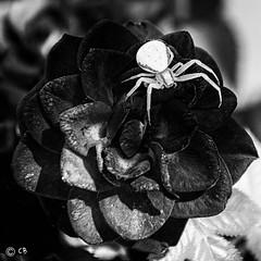 Fleur mortelle.jpg (BoCat31) Tags: araignée nb fleur rose misumenavatia