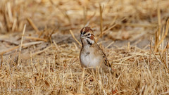 Lark Sparrow [Explored] (Bob Gunderson) Tags: birds blackdiamondminesrp california chondestesgrammacus contracostacounty eastbay larksparrow northerncalifornia sparrows
