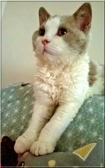 Watching TV (Antiphane) Tags: chat cat kitten chaiton pet animal de compagnie selkirk rex