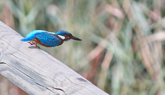 Kingfisher about to take off (Escipió) Tags: kingfisher blauet martinpescador alcedo atthis sebes tarragona blue bird nature wild