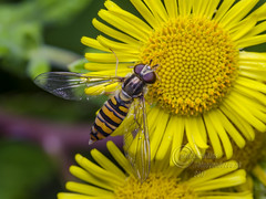 _IMG5987  Episyrphus balteatus (Marmalade Hoverfly) (Pete.L .Hawkins Photography) Tags: petehawkins petelhawkinsphotography petelhawkins petehawkinsphotography pentax 100mm macro pentaxpictures pentaxk1 fantasticnature fabulousnature incrediblenature naturephoto wildlifephoto wildlifephotographer naturesfinest unusualcreature naturewatcher insect invertebrate bug 6legs compound eyes creepy crawly uglybug bugeyes fly wings eye veins flyingbug flying beetle shell elytra ground episyrphus balteatus marmalade hoverfly