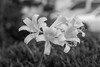 236/365 (Daegeon Shin) Tags: fujifilm xpro2 takumar supertakumar 50mmf14 flower flor bw dof 365 mf manualfocus lycorissquamigera 후지 타쿠마 꽃 흑백 심도 수동 수동렌즈 상사화 lirio lily