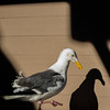Seagull Shadow (Kozma Shots) Tags: dslr nikond7100 f18 35mm 35 18 d7100 nikon light goldenhour summer shadow seagull pier39 sanfrancisco