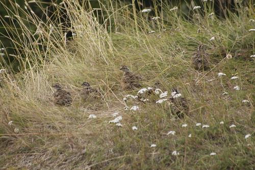 Lagopus muta -perdiz nival o lagópodo alpino - rock ptarmigan