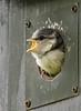 Young blue tit (roysalomonsen) Tags: bird nature paruscaeruleus bluetit blåmeis chick beak animal birds norway tromsø sigma150600mm canoneos7d arctic