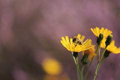 Bee-Happy (microwyred) Tags: singleflower spring events season nature flower insects greencolor insect pollination wildlife summer macro beautyinnature bee petal blossom closeup flowerhead outdoors pollen yellow springtime plant