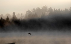 The great blue heron comes in for a landing (yooperann) Tags: mist fog sunrise great blue heron flying gwinn upper peninsula michigan