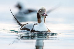 Long-tailed duck (Clangula hyemalis) (Tobi Roth) Tags: eisente clangulahyemalis longtailedduck båtsfjord finnmark norwegen no