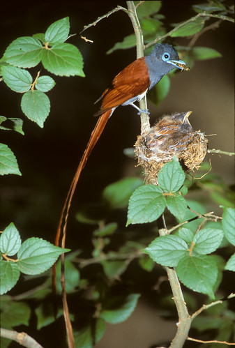 Paradise Flycatcher , with a Bee, to feed nestlings , 0739