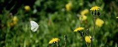 Anglų lietuvių žodynas. Žodis flap reiškia 1. v 1) nukarti, karoti; 2) plaktis (apie bures);plazdenti; 3) mosuoti; 4) plekštelti; suduoti;2. n 1) lengvas smūgis; 2) lėktuvo sparno vožtuvas; 3) atlapas lietuviškai.